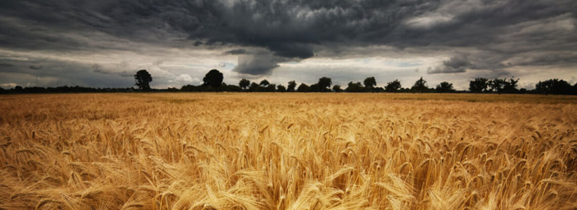 Field of wheat with storm clouds above and trees silouhetted on the skyline